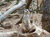 Meerkat keeping guard while the others get fed!