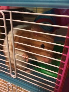 Syrian Hamster Truffles