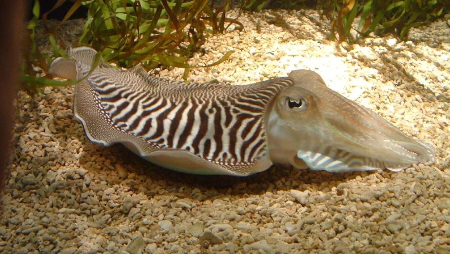 common-cuttlefish