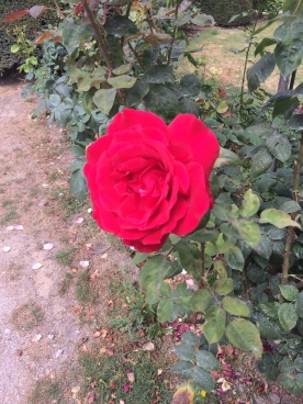A Sweet Rose